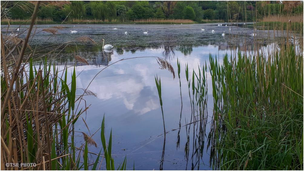 Swan gulf 2