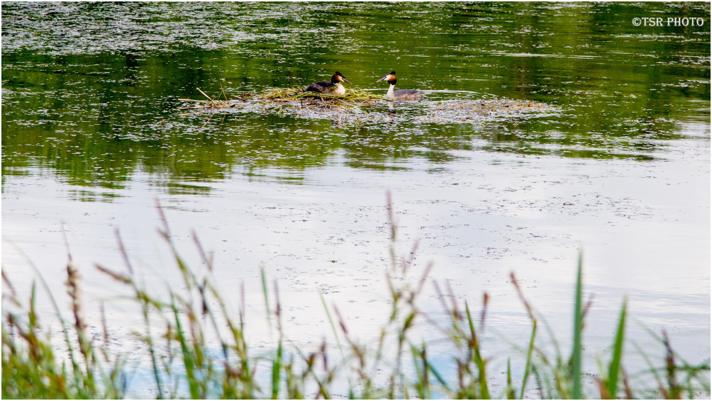 Nest of Grebes 2