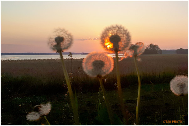 Dandelions in the Evening