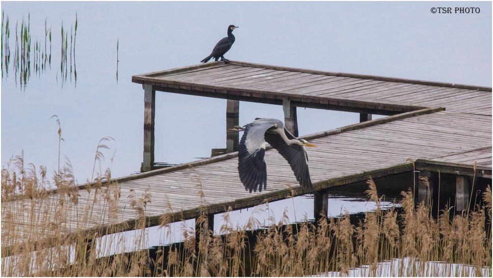 Cormorant and Heron