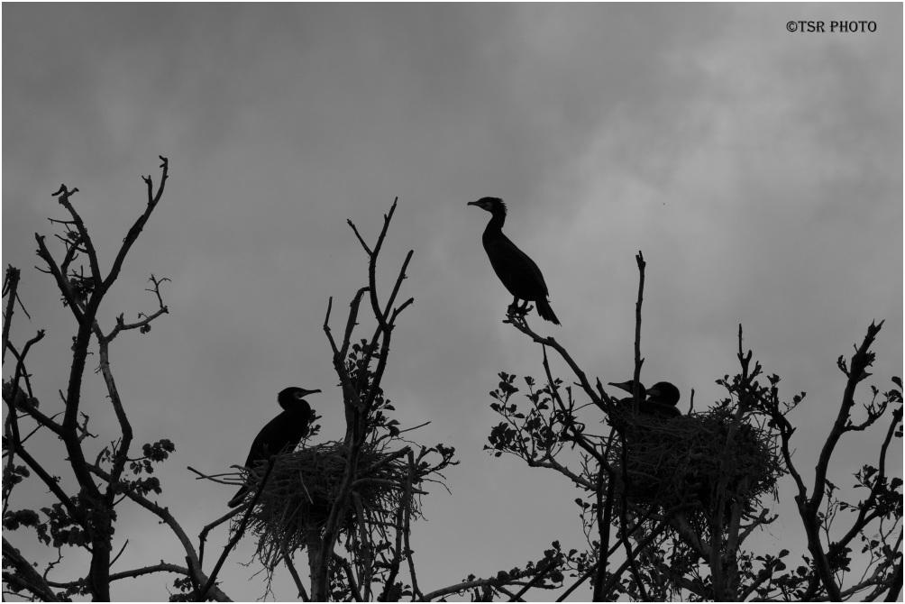 Cormorants 4