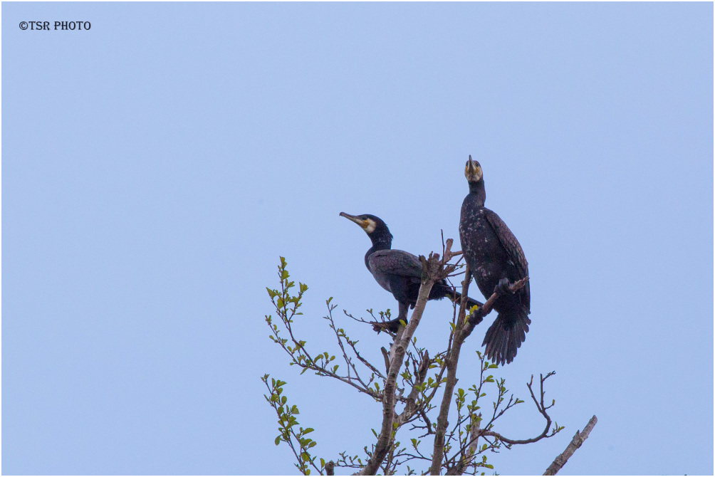 Cormorants 5