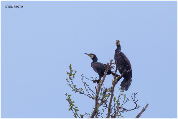 Cormorants 5
