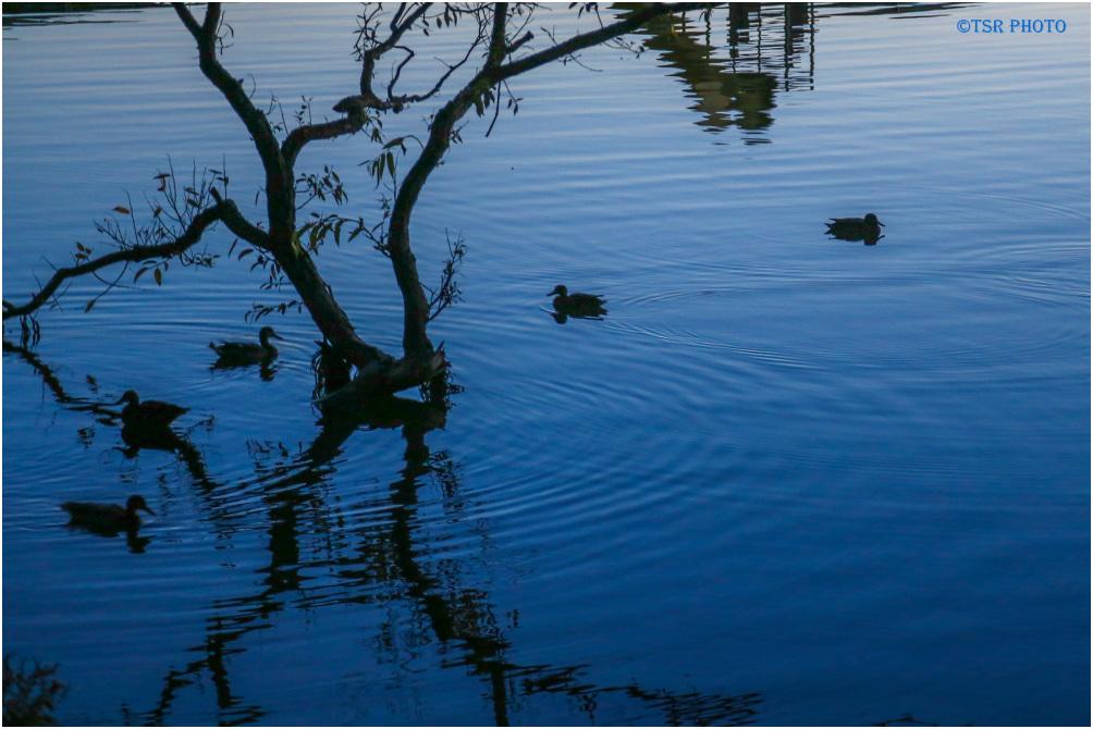 Ducks evening talks