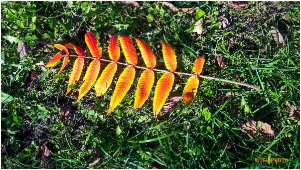 Fiery leaf