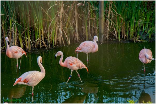 Flamings family