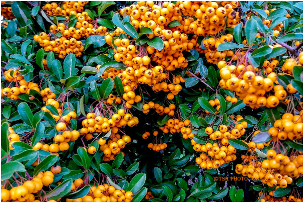 Small orange balls.