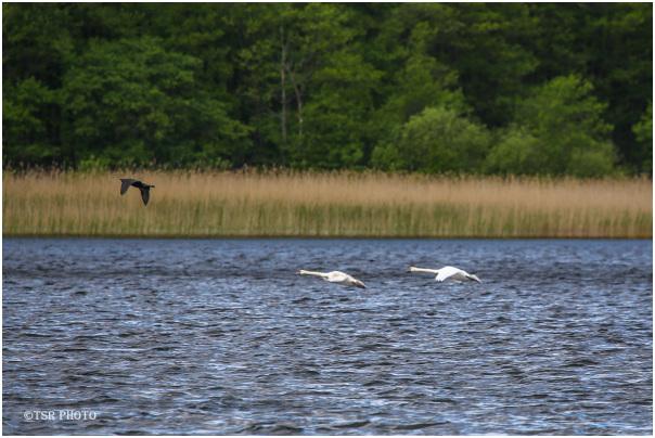 Chasing Cormorant