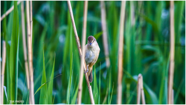 Bird in the reed