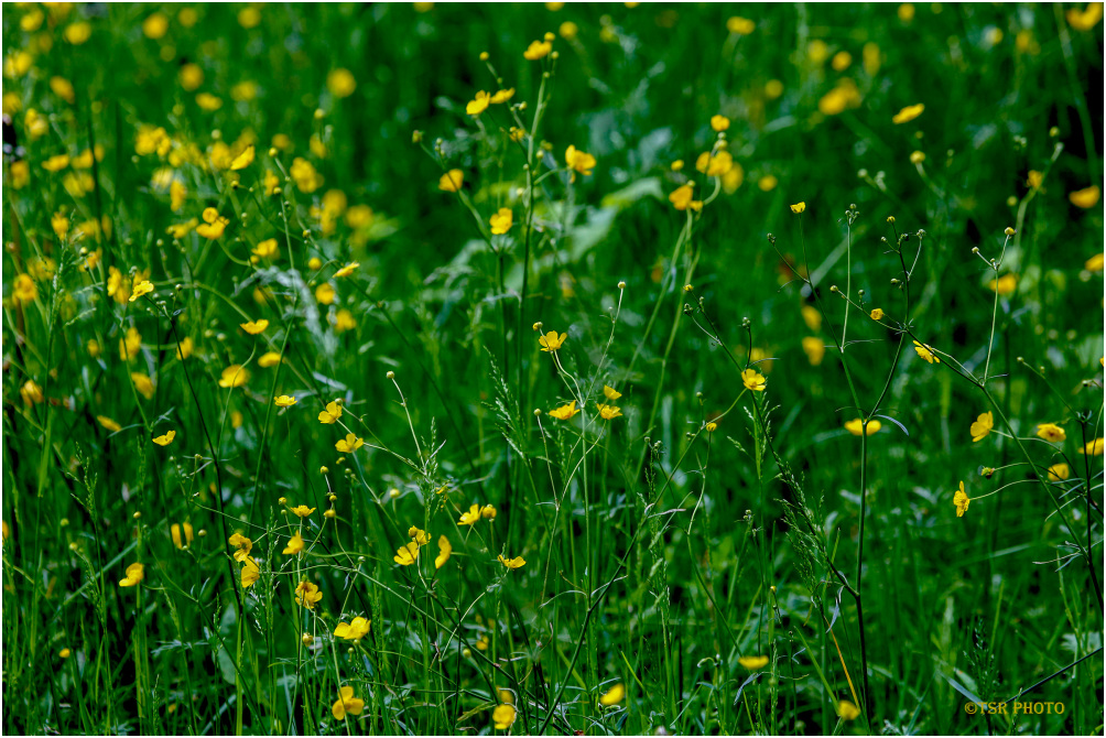 Yellow- green meadow