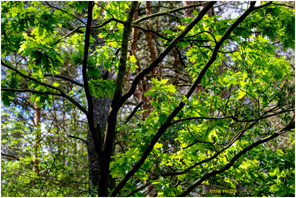 Oak in the depth of forest 2