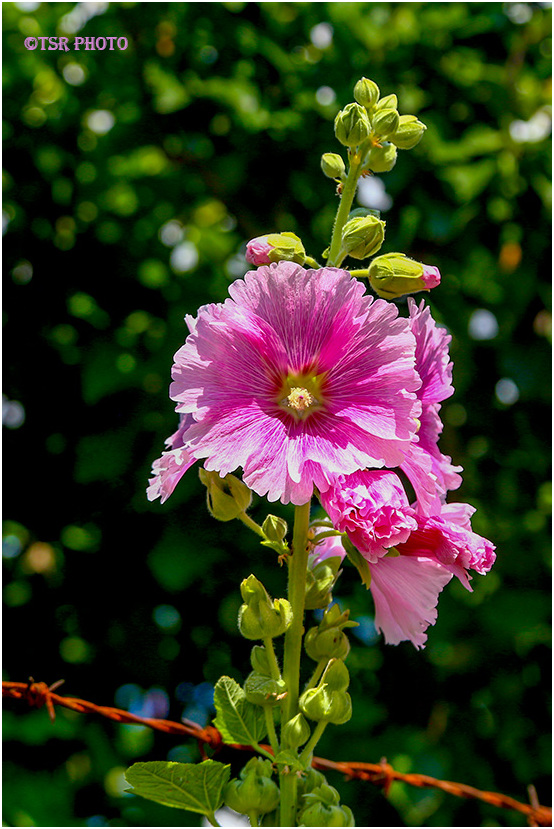 Alcea with thorns