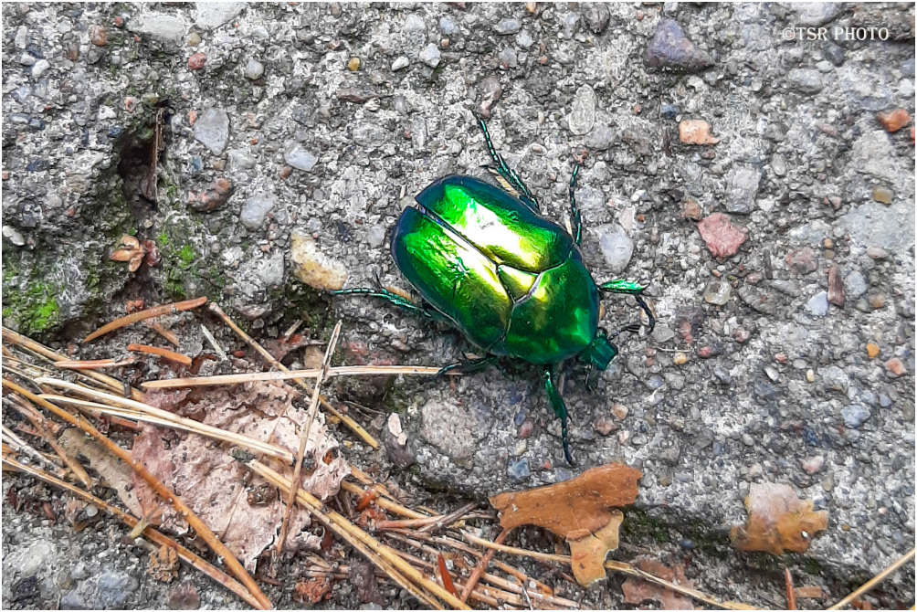 Green Beetle