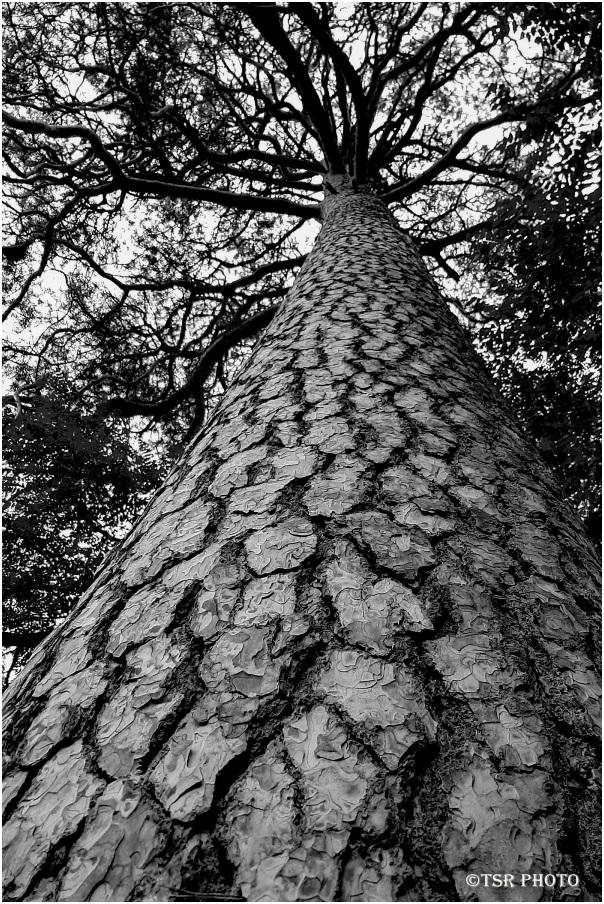 Tree (Pine)