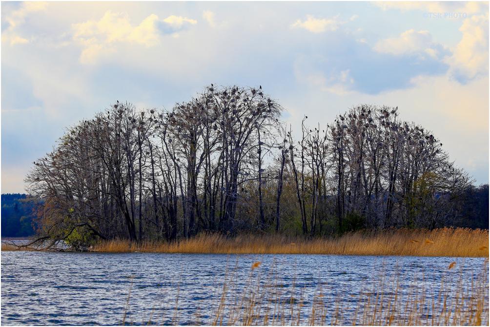 Cormorants nest