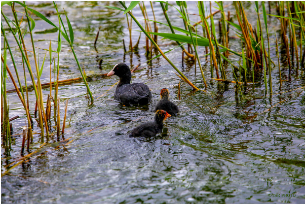 Coots family