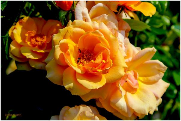 Roses 3/3