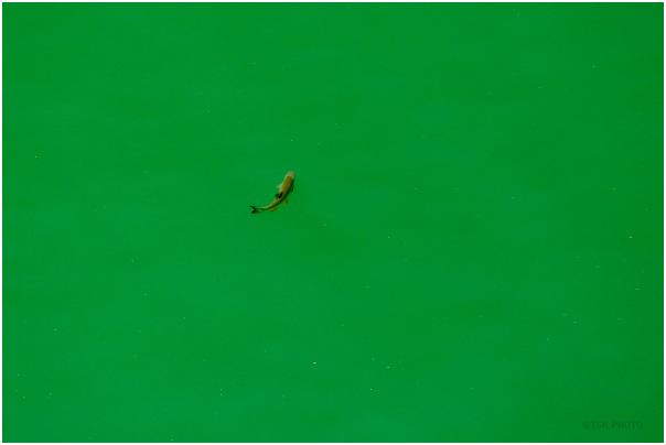 Fish in the lake Solina