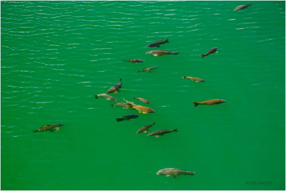 Fish in the lake Solina 2