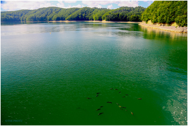 Fish in the lake Solina 3