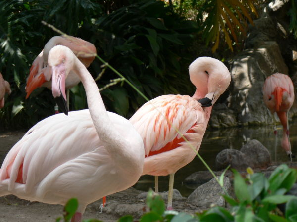 A lovely group of flamingos basking in the sun