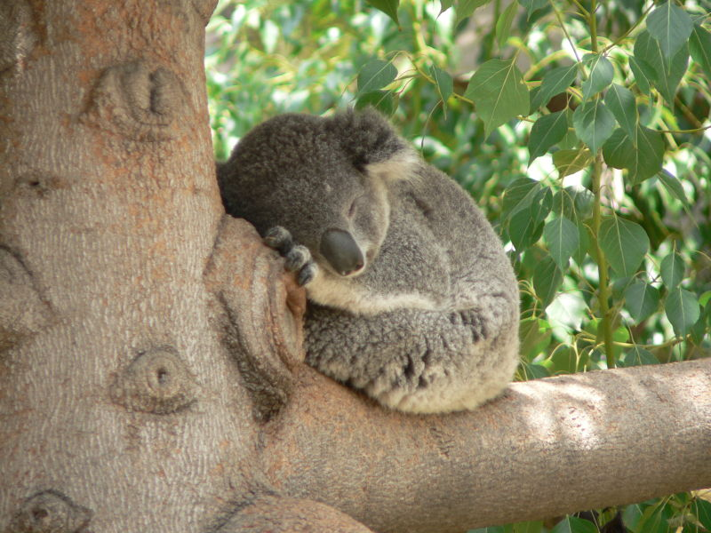 A koala bear in a tree of eyes!