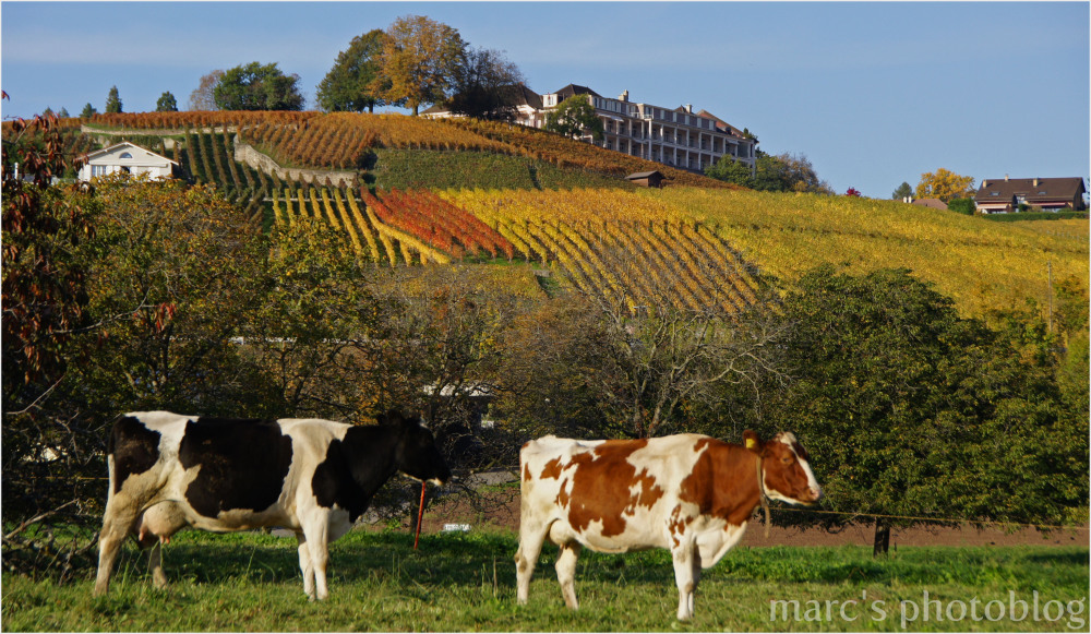 vaches à vin ou vignes à lait ?