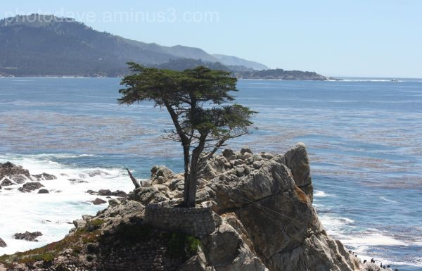 Lone Pine Tree Pebble Beach