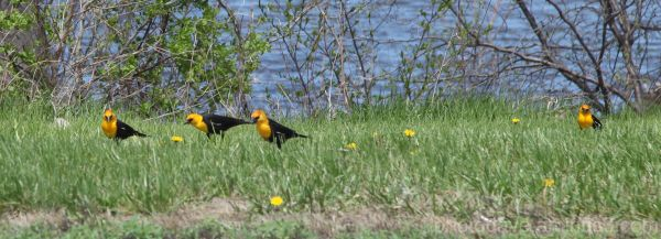 Rare Yellow Headed Blackbird in Iowa