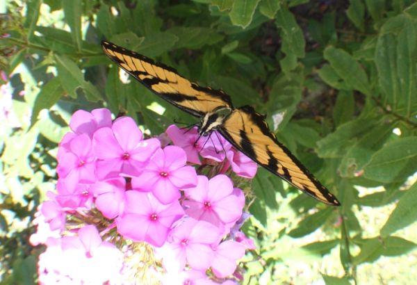 Butterflies Bring Good Luck!