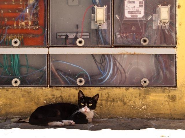 chat volté