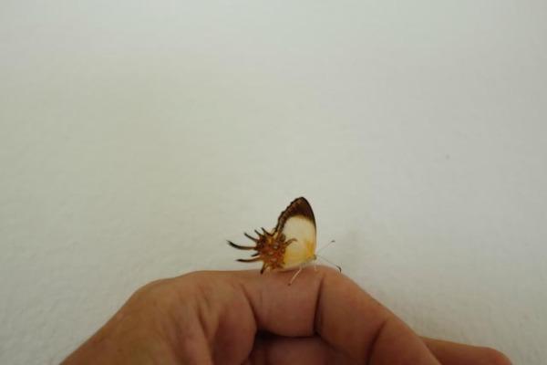 L'étrange papillon