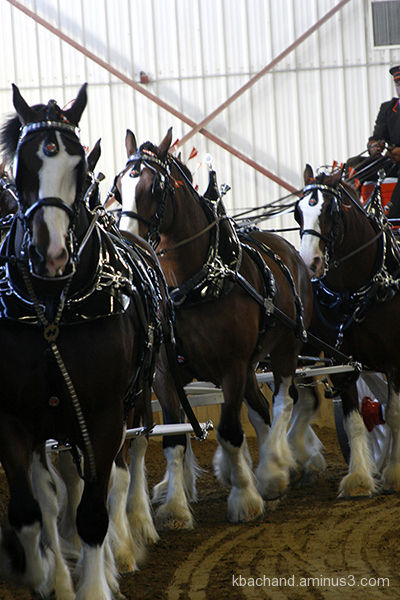 Draft horses preforming at the 2010 Topsfield Fair