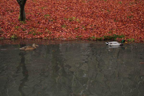 Ducks in Kyoto botanical garden