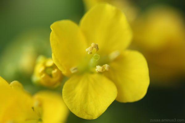 flower rape blossom macro