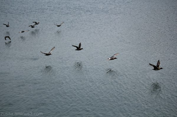 Flying of wigeons