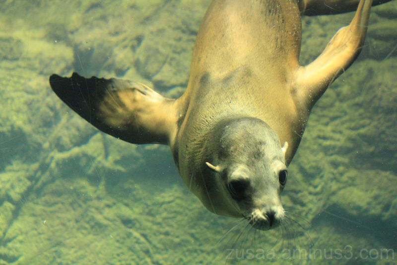 Curious young sea lion 1