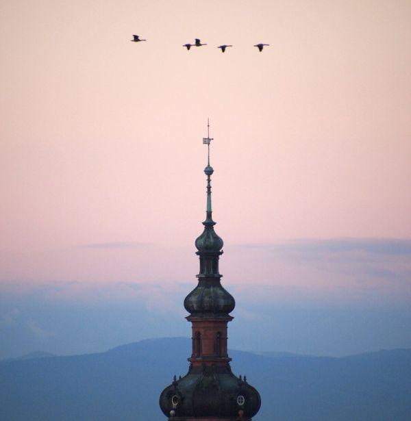 Geese flying over Mannheim