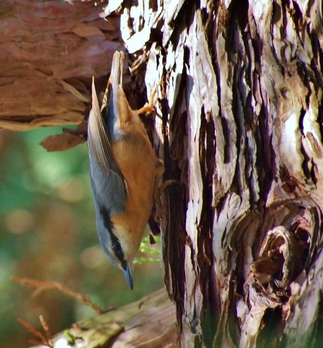 Wood Nuthatch (Sitta europaea) in a typical pose