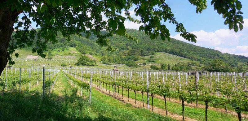 Vineyards near Schriesheim