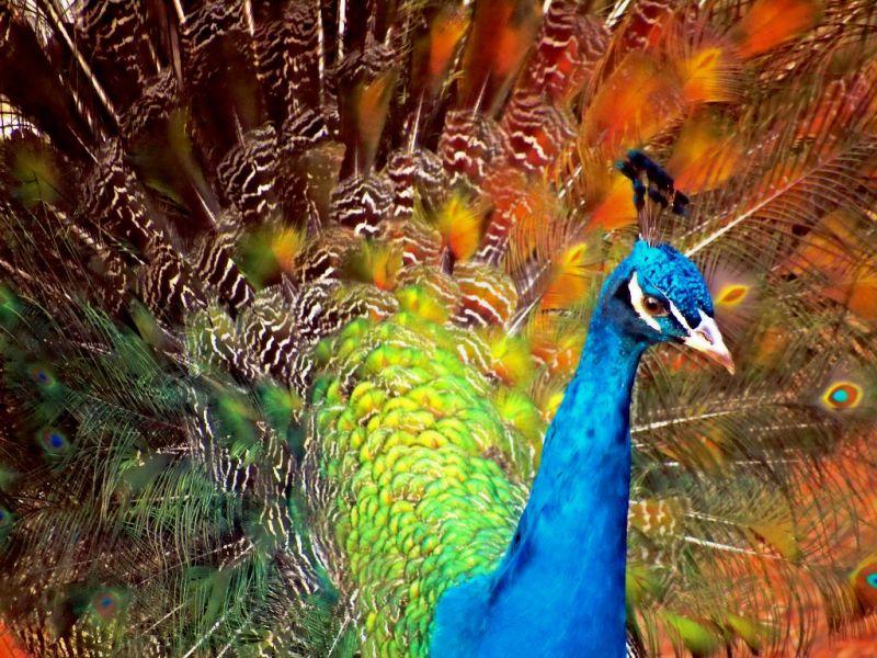 Peacock - fake HDR