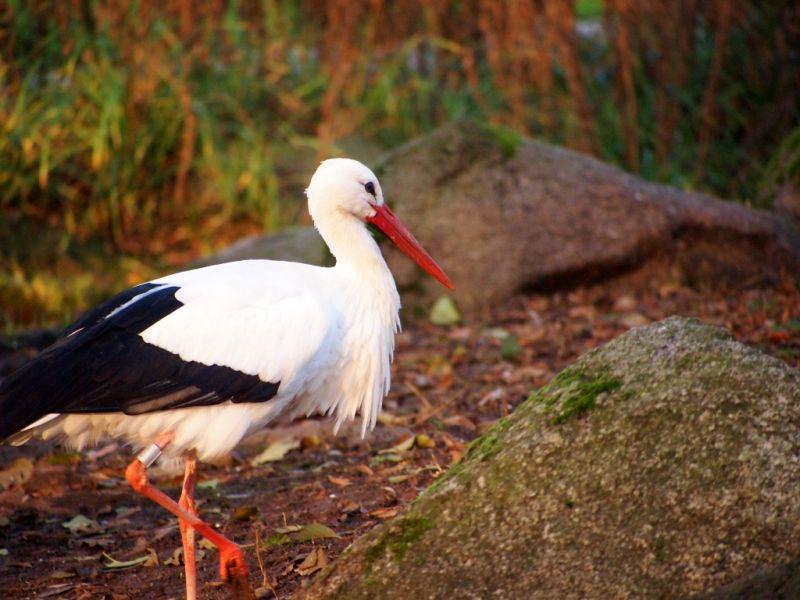 Stork walking