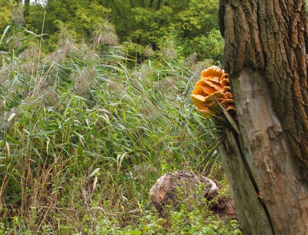 Wood mushroom, probably Laetiporus