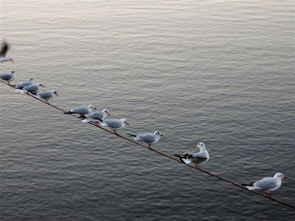 Seagulls on a line