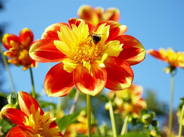 Yellow-red flower and a bee