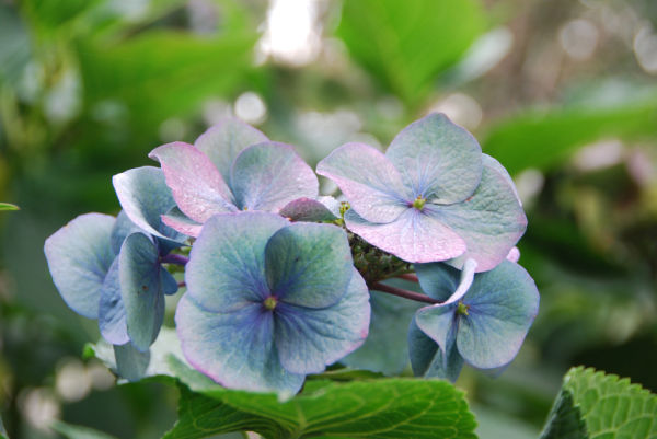 Hydrangea at the end of summer
