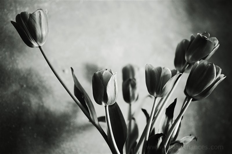 Tulips variation 4