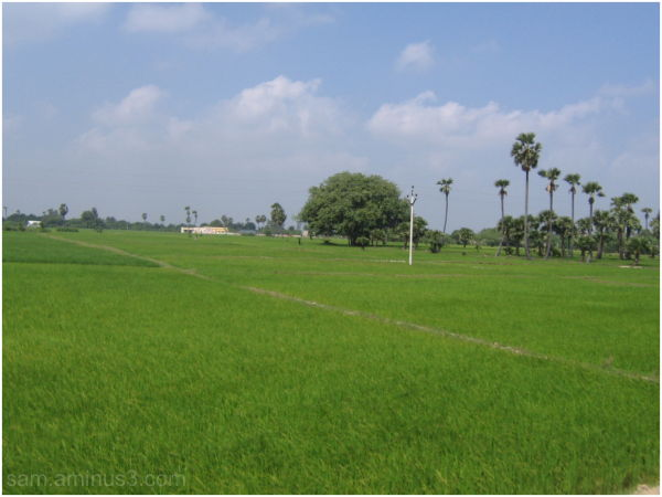 Paddy Fields in Roral areas Thanjavur