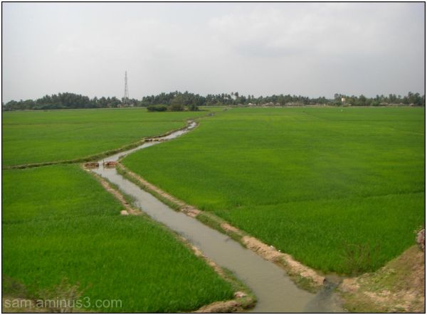 Rice (Paddy)  Fields and Channel