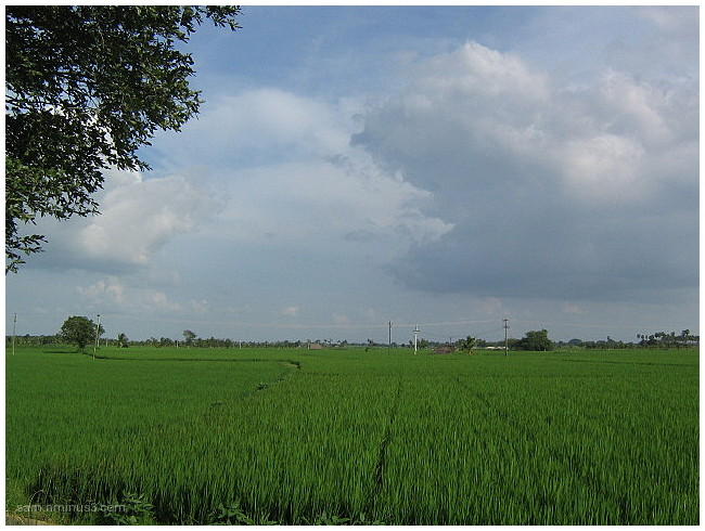 Rice (Paddy)  Fields